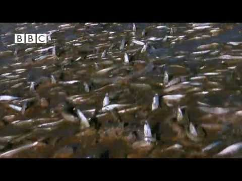 Millions of Fish Invade Beach in Mexico!