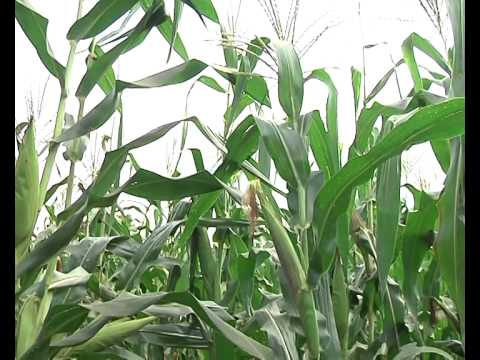 No Effect of GMO Crop on the Soil if planted 14