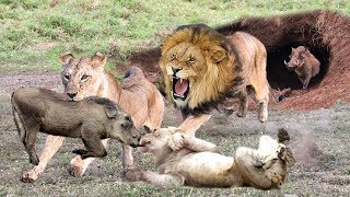 EXTRMELY RARE! Male Lions destroy 3 other Lions rescued smart Warthog in his territory