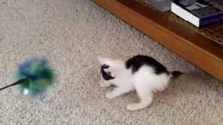 Kiddlyn's Parisa Paws - Black Smoke and White Japanese Bobtail Kitten