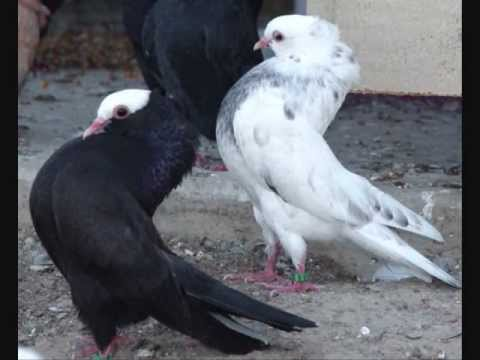 Pigeon Breed Mookee Pigeons Various Colors - YouTube
