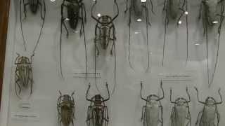 世界の巨大シロスジカミキリ:キルベリオオオシロスジカミキリ・ウォーレスオオシロスジカミキリ・マライタシロスジカミキリ