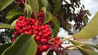 赤い実のなる木 HD 鮭缶 thumbnail