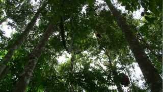 Indonésie: Sumatra  Orang-Outan et déforestation