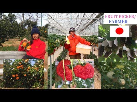 FRUIT PICKER IN JAPAN | FARMER | BUHAY OFW | POEA