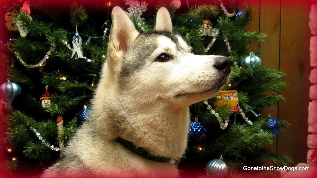 husky puppy first christmas
