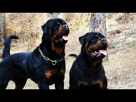 YOUNG MALE VS ADULT FEMALE ROTTWEILER GERMAN LINE