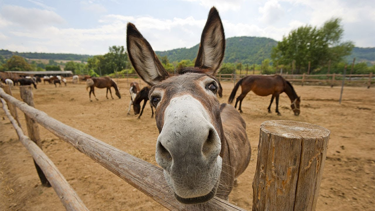 Download Funny Donkey Videos - Funny Animals Videos
