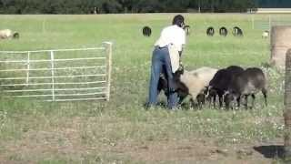 Border Collie X German Shepherd Border Collie X German Shepherd Sheep Herding