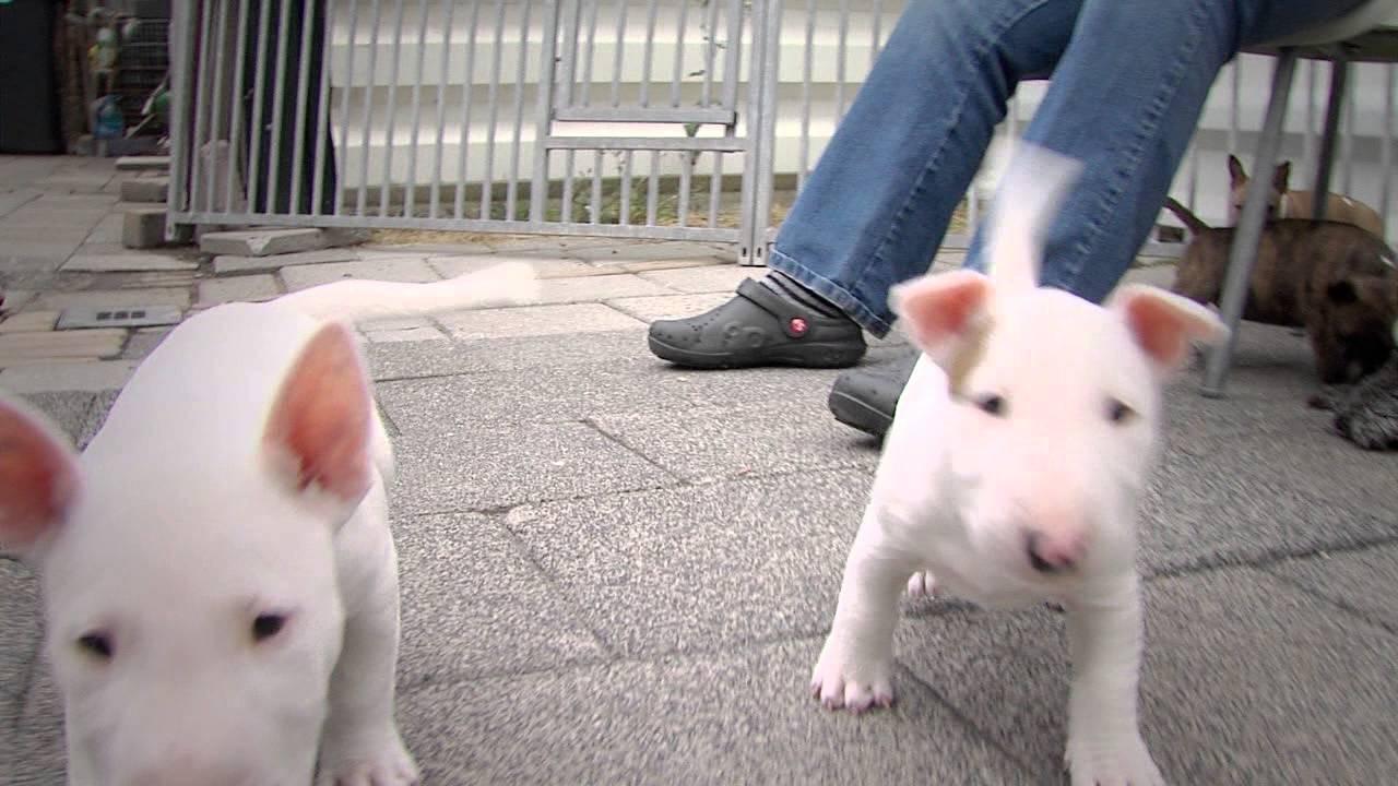 Mini Bull Terriers Weshootit Puppies