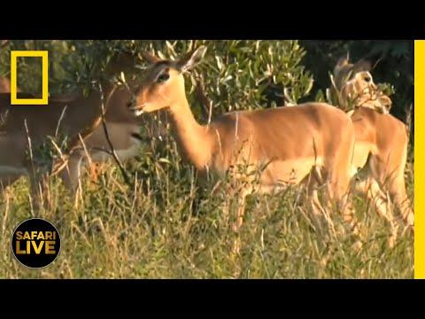Safari Live - Day 142   National Geographic