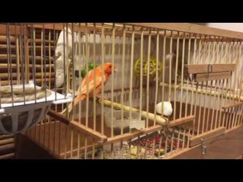 Зелёная канарейка и Оранжевый кенарь начинают гнездится