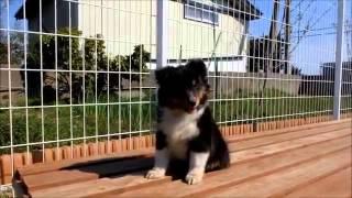 子犬のブリーダー直販支援サイト「子犬の窓口」 武田ブリーダーのシェッ...