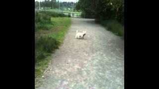 Scottie And Westie At Magnuson Dog Park