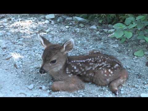 Baby Deer calls Logger 'Mom'.
