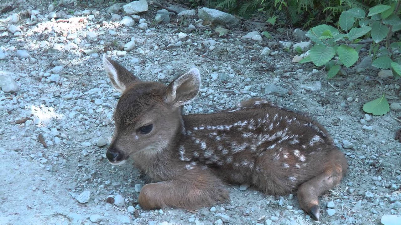 "Baby Deer calls Logger ""Mom"". - YouTube"