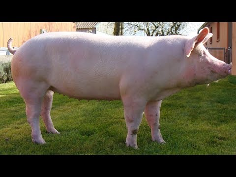 Yorkshire Pigs   The Corporate Pork Standard