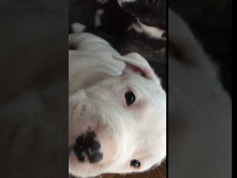 pitbull puppies sale