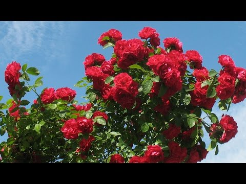 Красивый сад круглый год. Дачный участок. Хвойные на даче. Красивые цветы.