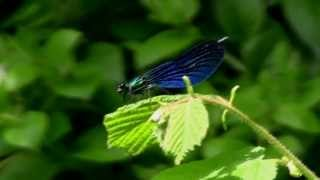 CALOPTERYX Vierge / Calopteryx virgo / Mâle ! BRUITX