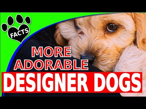 Today's Top 10 Most Adorable Designer Dog Breeds Part 2 Dogs 101 - Animal Facts