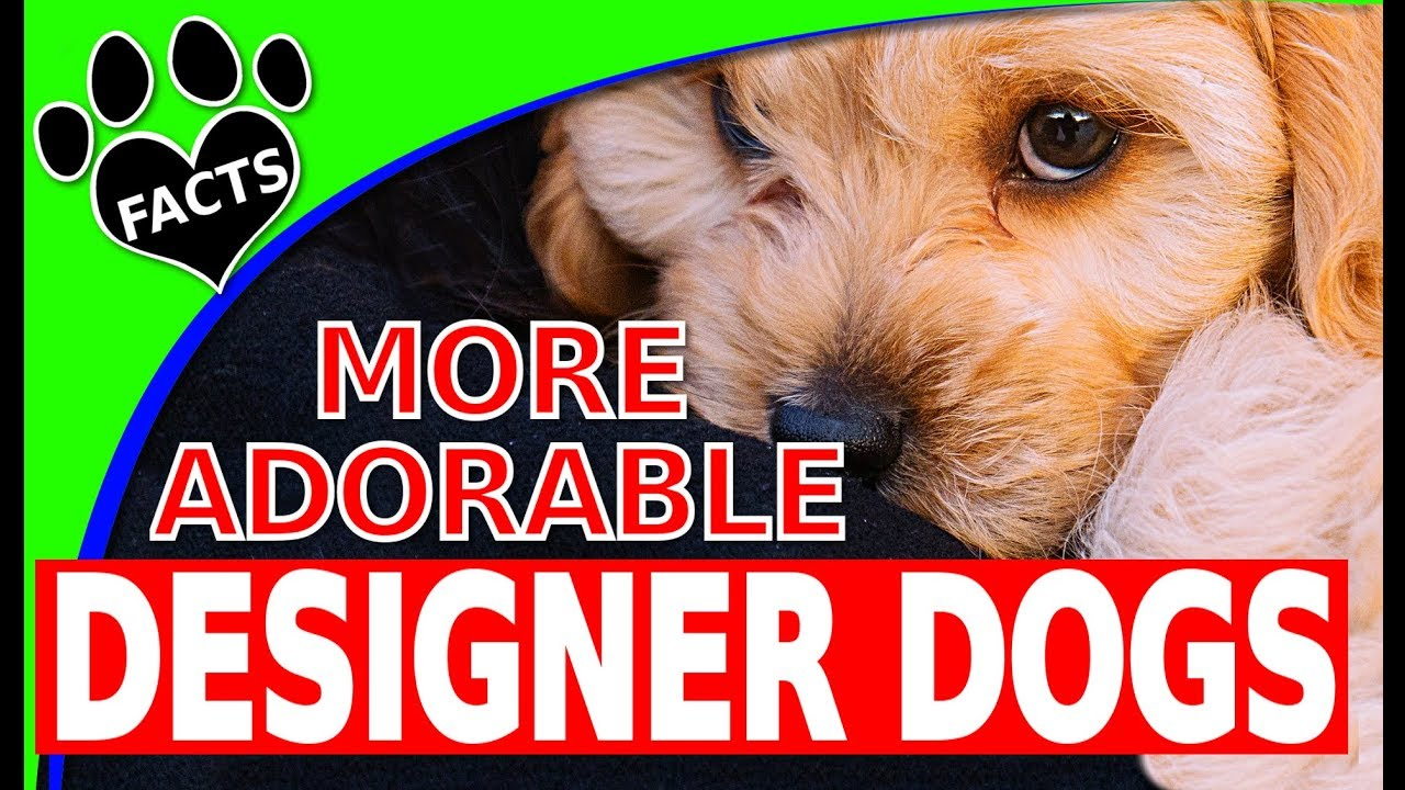 Designer Dogs 101: Today's Top 10 Most Adorable Designer Dog Breeds Part 2 Dogs 101 - Animal Fa