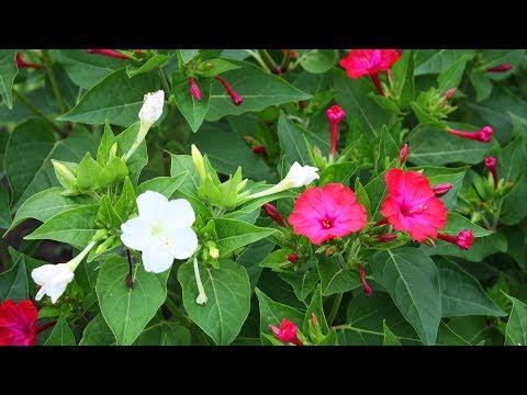 Вопрос: Как вырастить цветы ночной красавицы?