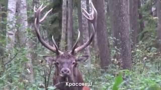 Рев оленей видео фото охота www.туризм-сибири.рф