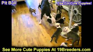 Pitbull, Puppies, For, Sale, In, Columbus, Ohio, OH, North Ridgeville, Mason, Bowling Green, Massill
