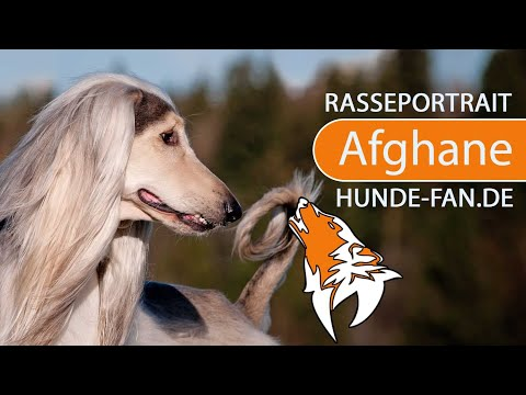 Afghanischer Windhund [2018] Rasse, Aussehen & Charakter