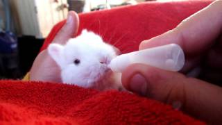 Repeat youtube video Me hand feeding one of our baby bunny rabbits