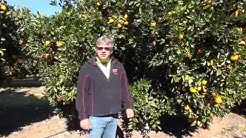 Navel orange pruning with Darren Minter Part 1
