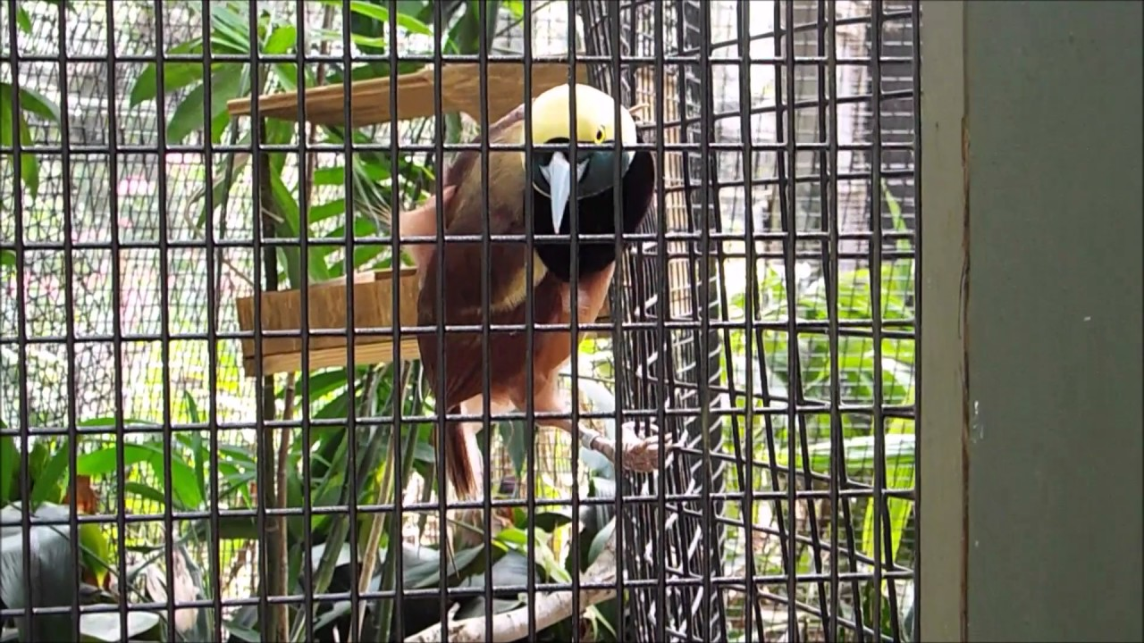 Mating Dance Amazing Raggiana Bird of Paradise From Australia!