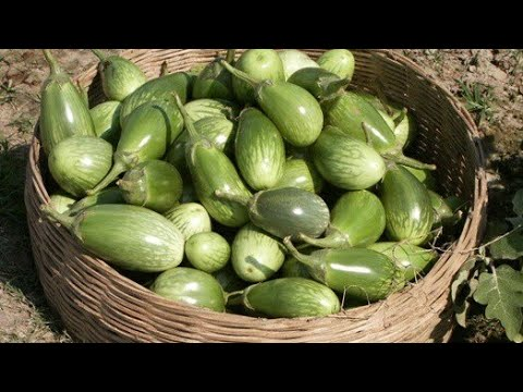 Brinjal Cultivation In Village | West Bengal