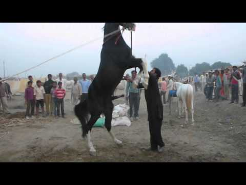 An owner displays his horse's 'virility' at Bateshwar, near Agra, India