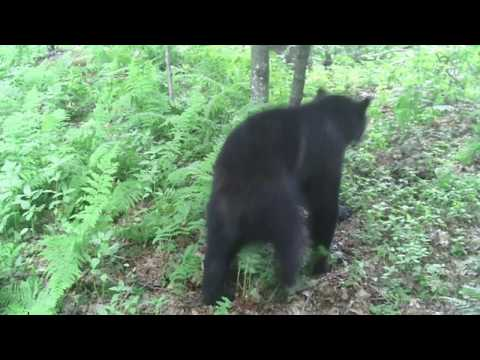 VT Black Bear Hunting- Bear Scouting And Sign_ Excellent Bear Rub Footage