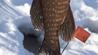 Рыбалка весной 2019. Монстры цинично порвали все жерлицы. Готовим акт возмездия.