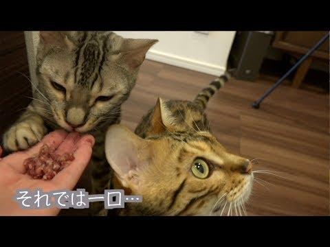 猫たちに生の内臓肉をあげたらルトの様子がおかしいんだけど・・・