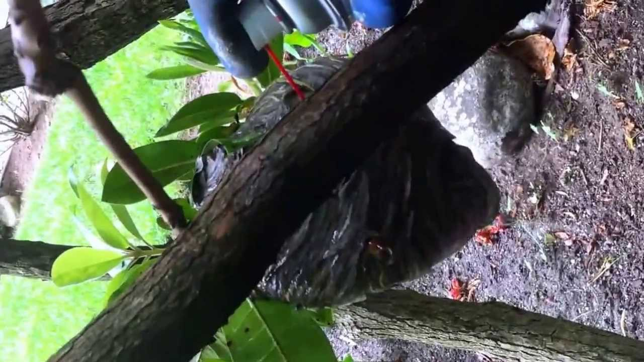 WASP NEST ON TREE REMOVAL - YouTube