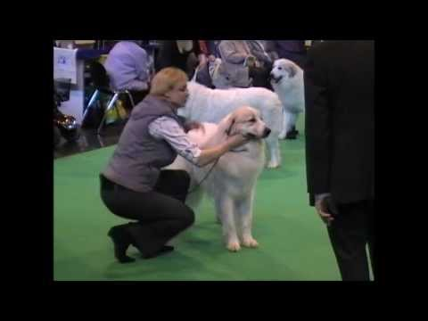 Pyrenean Mountain Dogs - Great Pyrenees @ Penellcy (Ella)