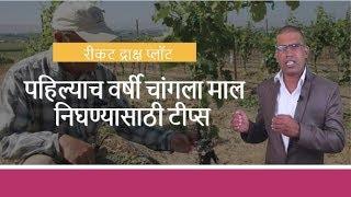 shrihari ghumare   रीकट द्राक्ष प्लॉट मध्ये पहिल्याच वर्षी चांगला माल निघण्यासाठी टीप्स