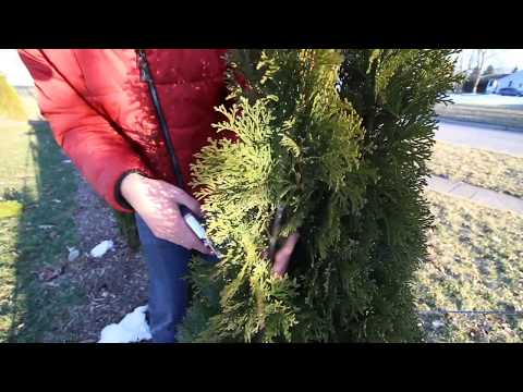 How to Prune Your Arborvitaes Like a Pro!