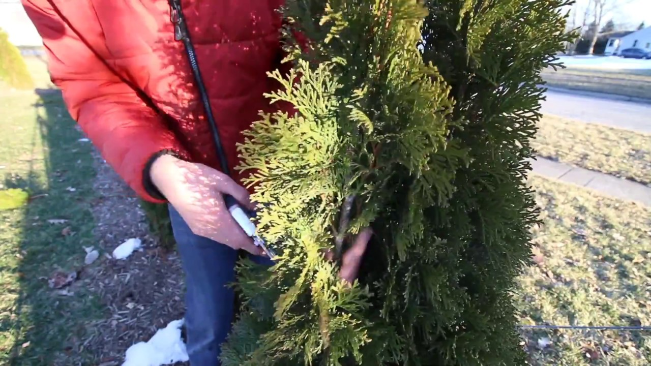 Thuja Yellow Ribbon Height How To Prune Your Arborvitaes Like A Pro