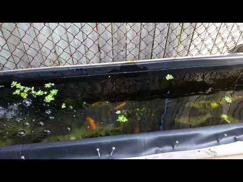 My Cichlid Grow Out Pond