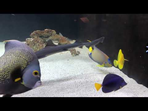 Adult Queen And French Angel Fish
