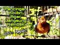 Masteran Kolibri Wulung Gacor Full Isian Tembakan Dan Mbeset Pedas Untuk Pancingan Kowul Agar Nembak  Mp3 - Mp4 Download