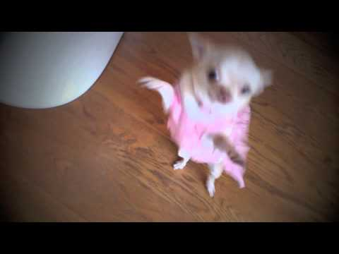 chihuahua dancing salsa very funny chihuahua dancing salsa in dress youtube 9447