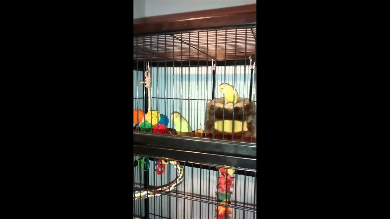 Budgie first day