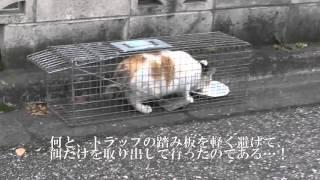避妊の捕獲の第一の標的である猫一家の母の三毛。彼女の捕獲の際、思い...