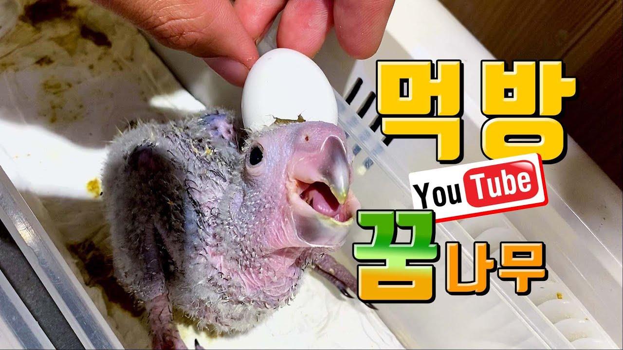 태어난지 2시간된 앵무새 이유식 줘버리기~ #이유식 먹방